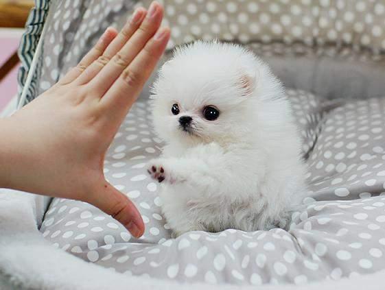 Adorable Mini Pomeranian puppies