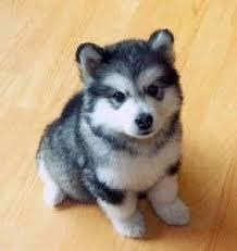 Gorgeous Husky /Pomsky puppies looking  for a good home