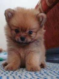 fdgf Healthy p.o.m.e.r.e.n.i.a.n Puppie.s puppies!!!(508) 622-5152