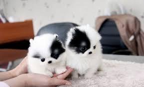 svfsdfcv Healthy p.o.m.e.r.e.n.i.a.n Puppie.s puppies!!!(508) 622-5152