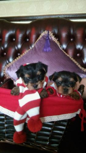Y.o.R.k.i.e P.upp.i.e.s For F.r.e.e, Ready Now 11 Weeks Old