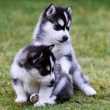 CUTE S.i.b.e.r.i.a.n H.u.s.k.y Puppies: contact us at (757) 932-4906