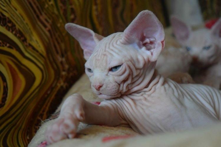 Gorgeous male and female. _.Sphy.nx kitt.en__(567) 245-9335_.,