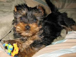 ?Y.o.R.k.i.e P.upp.i.e.s For F.r.e.e, Ready Now 12 Weeks Old #sms at,, 469-299-8748