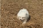 Healthy P.O.m.A.R.A.N.I.A.N puppies!!!770 854-1938