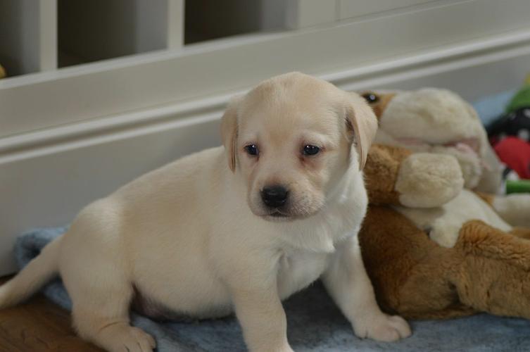 Meet Silver L.A.B.R.A.D.O.R  pups  (816) 286-4536