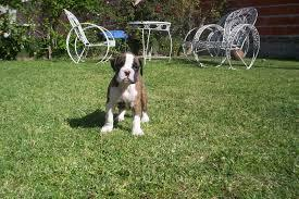 Charming boxer puppy looking for a new home(763) 307-7345