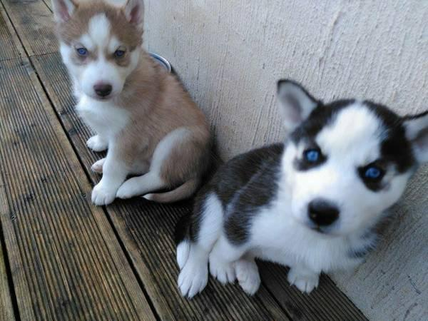 Free Blue Eyes G.orgeous Pu.ppies Not For Sell Free) Need Home(650) 263-7609