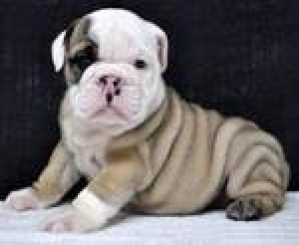 Gorgeous Englishh Bulldoggs Pu.ppies ) Need Hom (301) 636-5382.