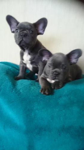 ?F.R.E.E f.r.e.n.c.h.b.u.l.l.d.o.g. Ready Now 10 Weeks Old #free ##(631) 494-2304