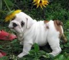 FREE*FREE Healthy Free M/F English B.u.l.l.d.o.g Puppies!!!(302) 585-5481 thanks for your time