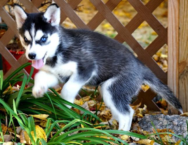 CUTE S.I.B.E.R.I.A.N H.U.S.K.Y Pups**(770) 756 8621 ***