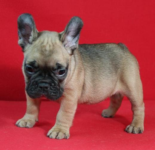 registered french Bulldog puppies