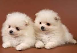 P.O.M.E.R.A.N.I.A.N. puppies registered with AKC (915) 257-4937