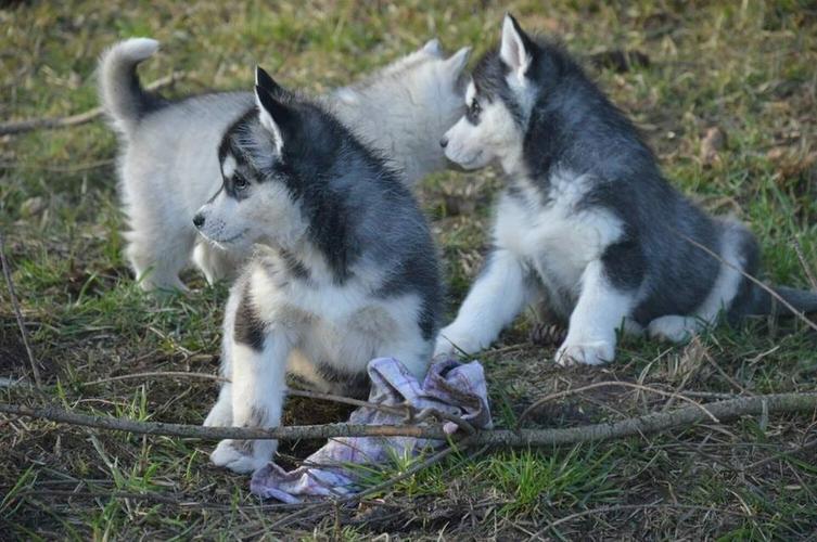 ... siberians huskys Puppies to good homes....