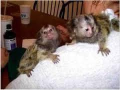 VEE Healthy M.a.r.m.o.s.e.t Monkeys(925 215-7132)