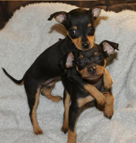 AKC Registered Doberman Puppies  (432) 547-9841