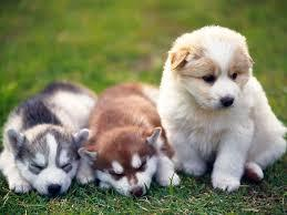 ??? FREE Quality siberians huskys Puppies:???(707) 840-8141