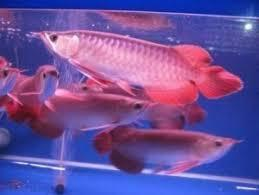 TOP QUALITY SUPER RED AROWANA FISH AND OTHERS AVAILABLE FOR SALE.