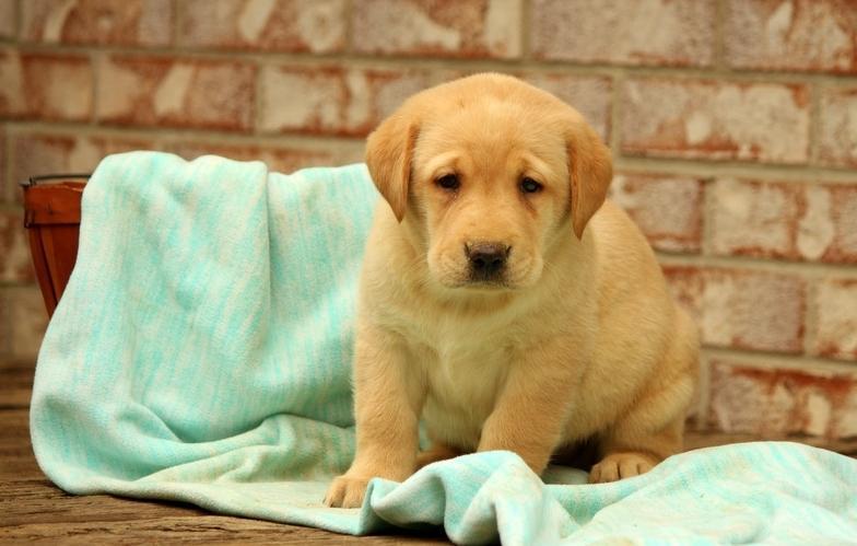 cute L.a.b.r.a.d.o.r  R.e.t.r.i.e.v.e.r  puppies for good homes