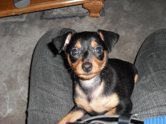 Gorgeous and adorable Pinscher puppies for rehoming