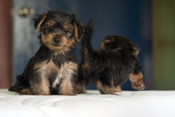 .,Adorable Yorkie Puppies Ready for adoption(412) 387-8877