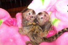 Pair of Beautiful Marmoset Monkeyss to give away
