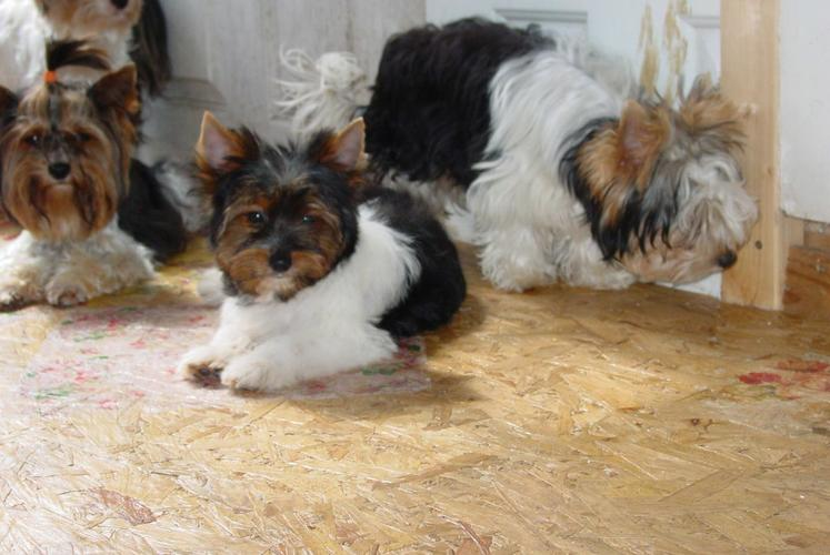 Pretty male and female Beautiful Yorkshire PUPPIES for a good home.
