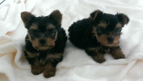 ?Y.o.R.k.i.e P.upp.i.e.s For F.r.e.e, Ready Now 12 Weeks Old # contact 860 414 3014
