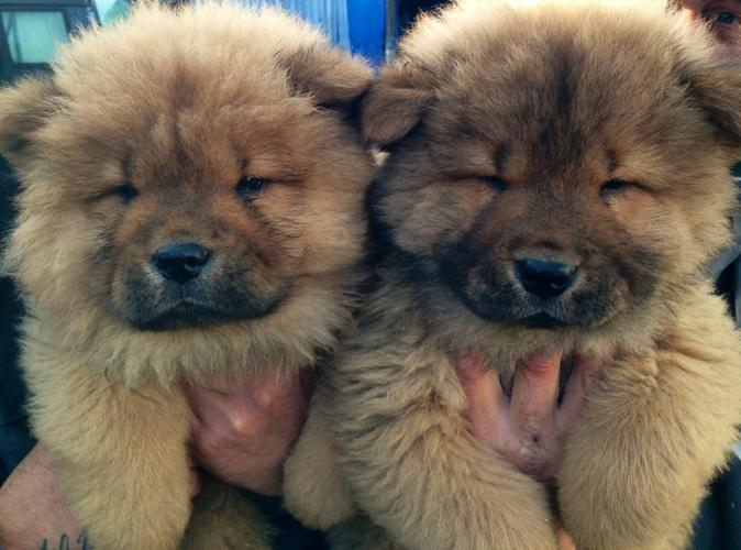 Chow Chow Puppies Available call (410) 650-5442