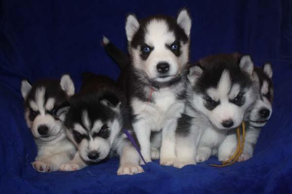 !!! Quality siberians huskys Puppies:! !!contact us at(240) 671-0522