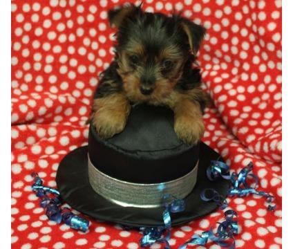 # ?? Quality Teacup Yorkies Puppies:....??** (732) 655-8834