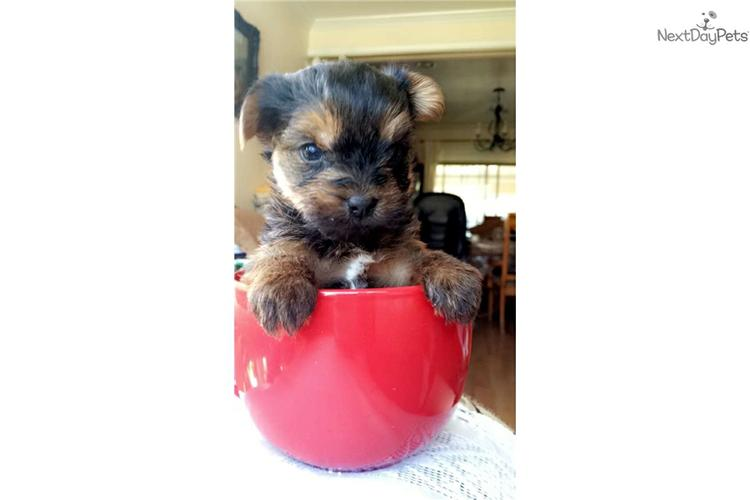 )))TEXTME NOW ON (310) 596-2260  Sweet Looking Teacup Yorkies Puppies ready
