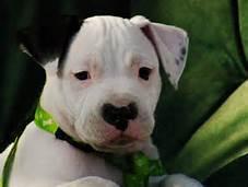 CUTE P.I.T.T.B.U.L.L Puppies: contact us at. 7125667490