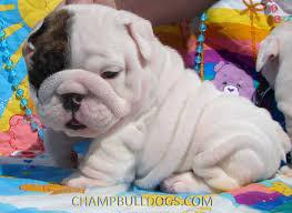 Bulldog English Puppies