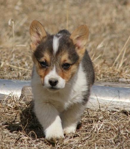 Cute and Adorable Pembroke Welsh Corgi now ready for new homes