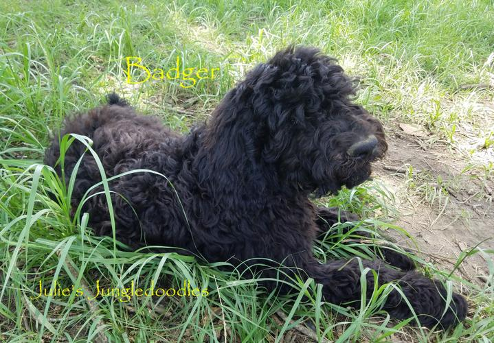 PennySaver | Saint Berdoodle puppies in Pensacola Florida in