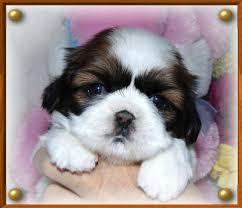 ?F.R.E.E s.h.i.t.z.h.u. P.u.p.p.ie.s Ready Now 10 Weeks Old #free ### (410) 403-3379