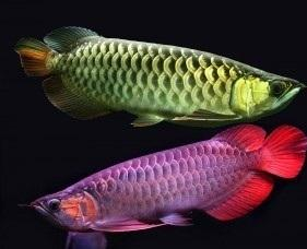 Top Quality 24k Golden, Red arowana, Rtg, Super red, Asian Red
