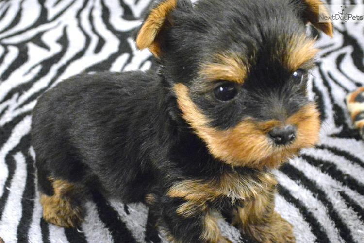 ##TEXTME NOW ON (310) 596-2260  Sweet Looking Teacup Yorkies Puppies ready