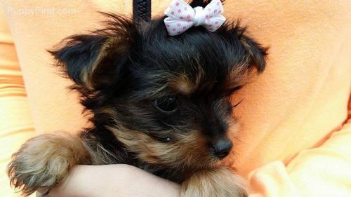 $$TEXTME NOW ON (310) 596-2260  Sweet Looking Teacup Yorkies Puppies ready##TEXTME NOW ON (310) 596-