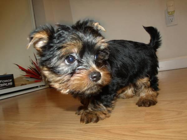 ?Y.o.R.k.i.e P.upp.i.e.s For F.r.e.e, ((770) 232-6588/Ready Now 12 Weeks Old #
