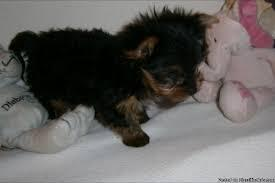 Tiny CUTE ea-cu Yorkies Pu.ppies Need 4ever Home617 586 4059