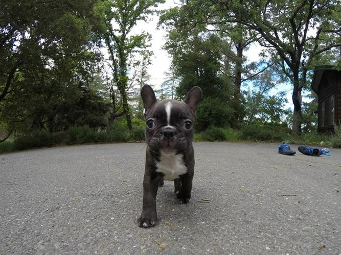 my Adorable Frenchton Puppy Ready Now for rehoming