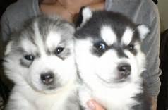 CUTE S.I.B.E.R.I.A.N H.U.S.K.Y Pups** (814) 281-3587***
