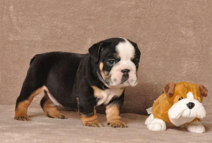 FREE well trained E.N.G.L.I.S.H B.U.L.L D.O.G puppies ready for new families.Contact at 240-848-7043