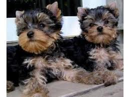 Female and Male Y.o.rkkies Pu.pp.ies in need of a good home interesting and would like to get more d