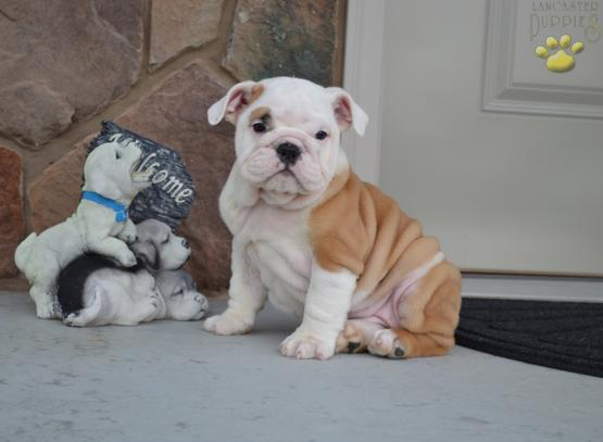 ?E.n.g.l.i.s.h. B.u.l.l.y P.upp.i.e.s For F.r.e.e, (410) 500-9755/Ready Now 12 Weeks Old