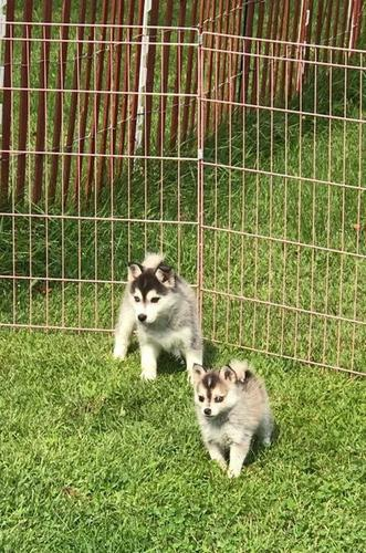 Lovely P.o.m.s.k.y puppies available (772)-242-5908