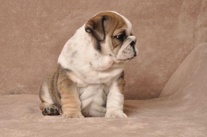 #  Quality E.N.G.L.I.S.H B.U.L.L.D.O.G Puppies:....(614) 233-1048